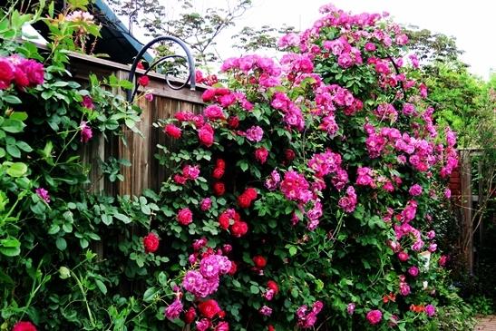 横浜イングリッシュガーデン 薔薇が満開_d0353281_00460130.jpg