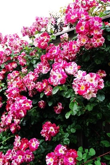 横浜イングリッシュガーデン 薔薇が満開_d0353281_00462021.jpg