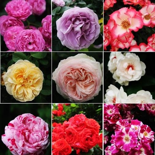 横浜イングリッシュガーデン 薔薇が満開_d0353281_00590683.jpg