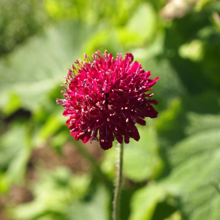 可愛いお花の宿根草たち_a0292194_19561289.jpg