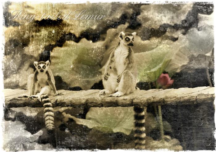 ワオキツネザル:Ring-tailed Lemur _b0249597_05253264.jpg