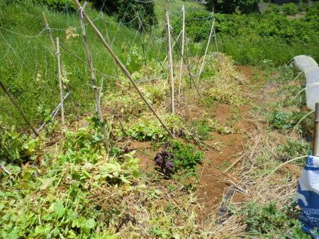 トウモロコシの.防、鳥獣対策_b0137932_18324897.jpg