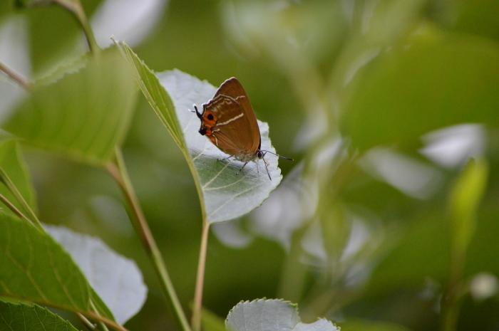 ミドリシジミ庭のハンノキにて_d0254540_18261140.jpg