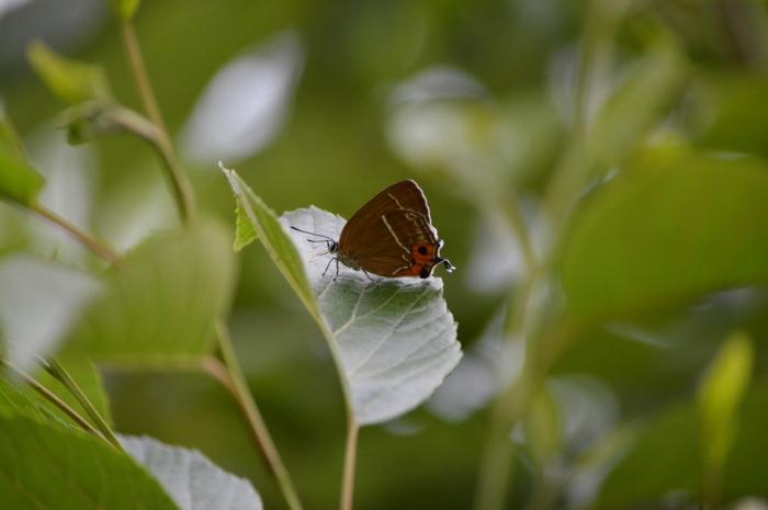 ミドリシジミ庭のハンノキにて_d0254540_18263048.jpg