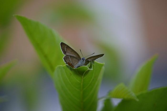 ミドリシジミ庭のハンノキにて_d0254540_18264932.jpg