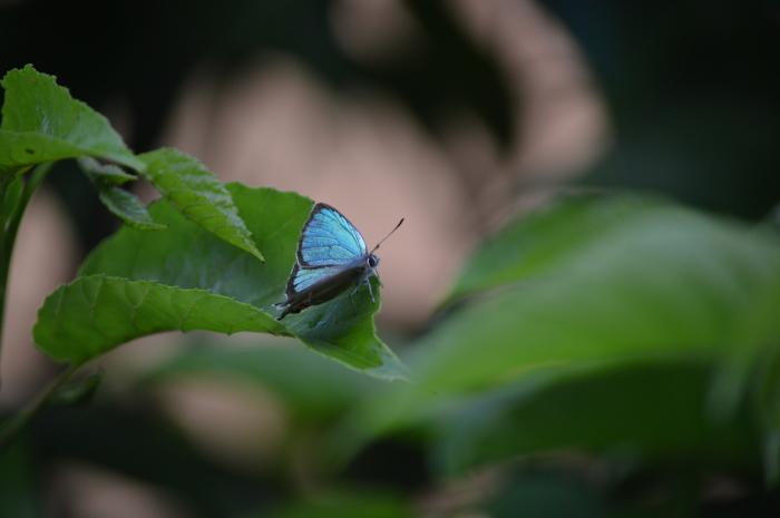 ミドリシジミ庭のハンノキにて_d0254540_18281860.jpg