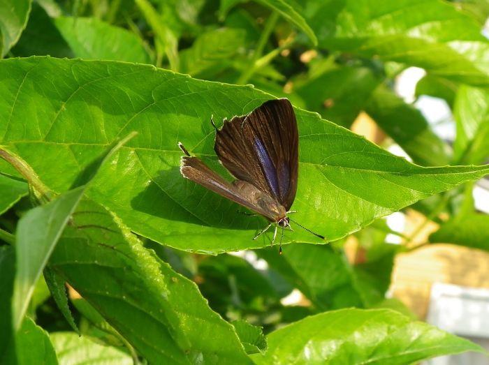 ミドリシジミ庭のハンノキにて_d0254540_18303579.jpg