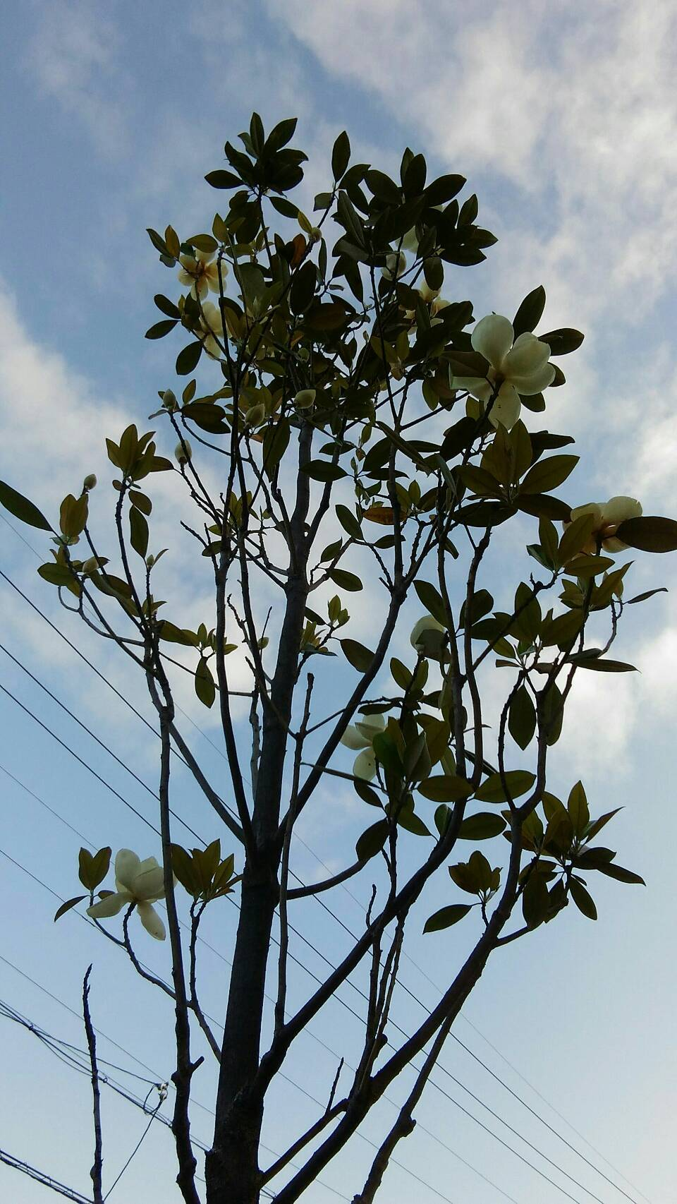 マグノリアの咲く道_f0095745_22355912.jpg
