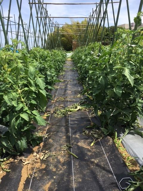 トマトやカボチャの実が出来てきました_c0222448_11511815.jpg