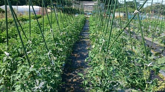 トマトやカボチャの実が出来てきました_c0222448_11513338.jpg