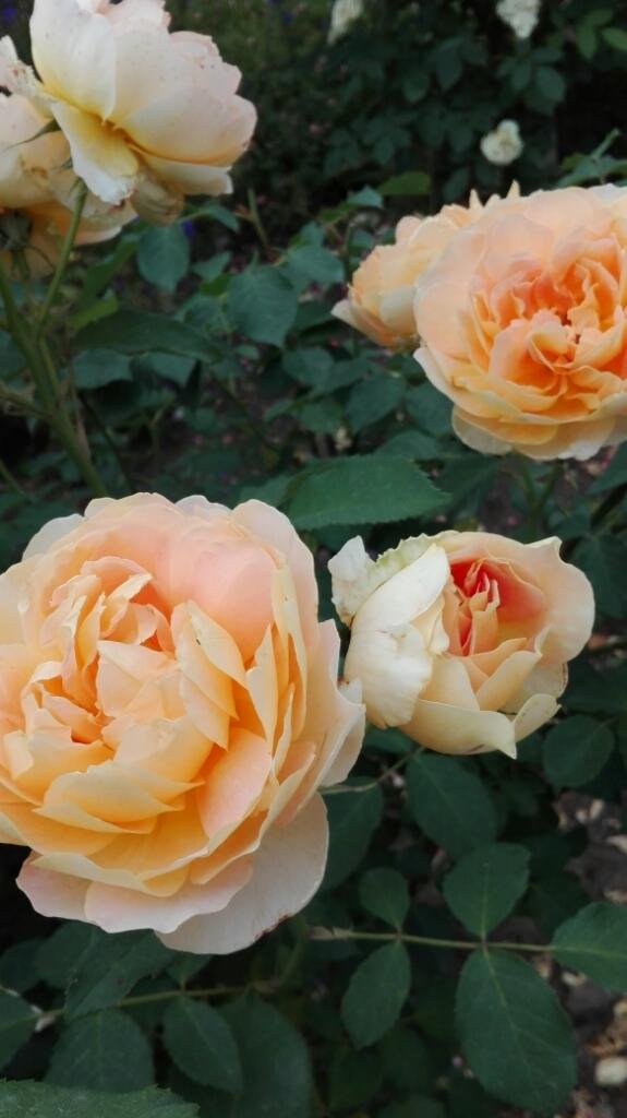 バラのご縁 の始まりは_e0356469_00442521.jpg