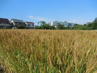 小麦畑と0円食堂_c0332682_21515971.jpg