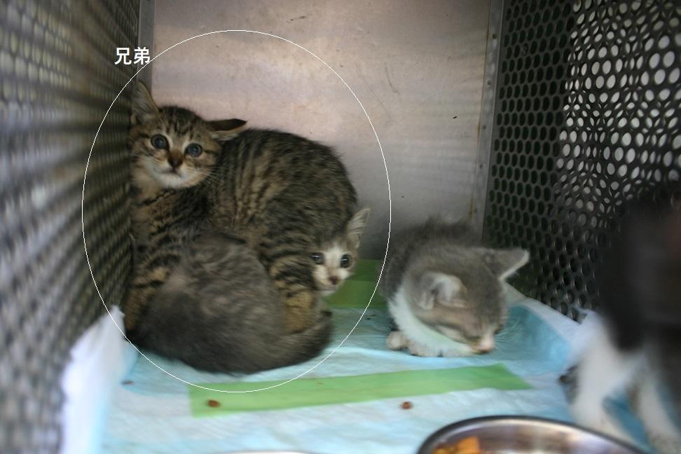 【移動先募集】センター(支所)収容の子猫・成猫(6/4訪問)_f0242002_22354155.jpg