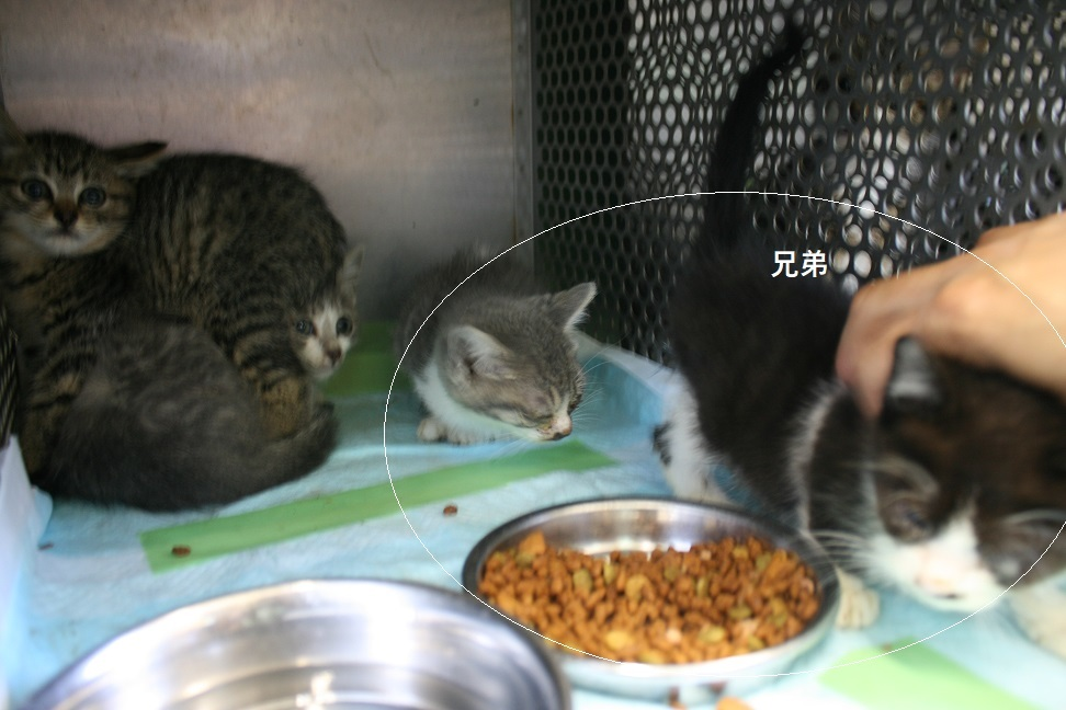 【移動先募集】センター(支所)収容の子猫・成猫(6/4訪問)_f0242002_22355472.jpg