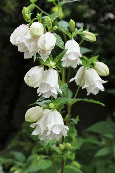 5月下旬 庭に咲く花_d0150720_19094235.jpg