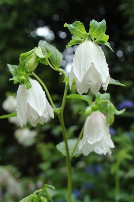 5月下旬 庭に咲く花_d0150720_19100894.jpg