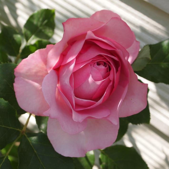 バラの鉢植え栽培ヒストリー_a0292194_16455645.jpg