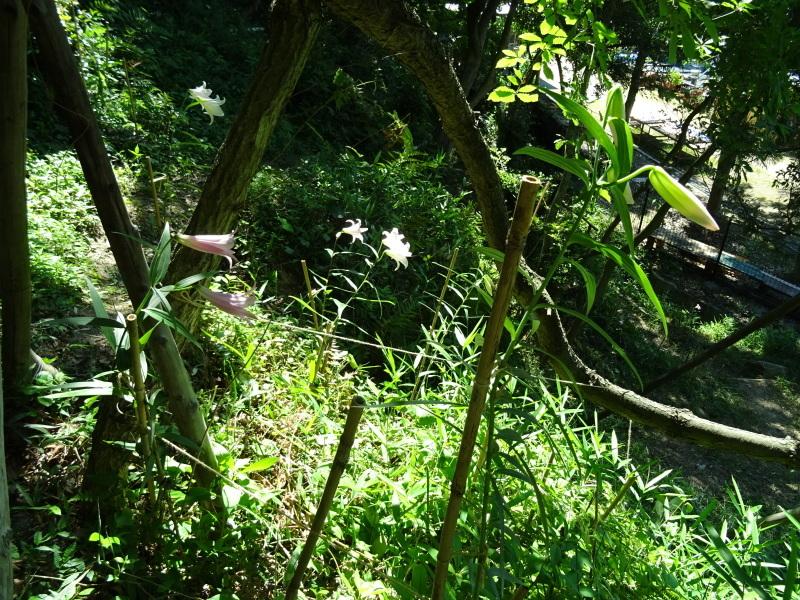 ササユリ便り⑩・・・せんなん里海公園内うみべの森_c0108460_22400939.jpg
