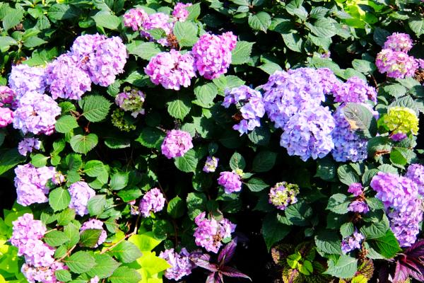 ニューヨークの中心で噴水と紫陽花と_b0007805_7395091.jpg