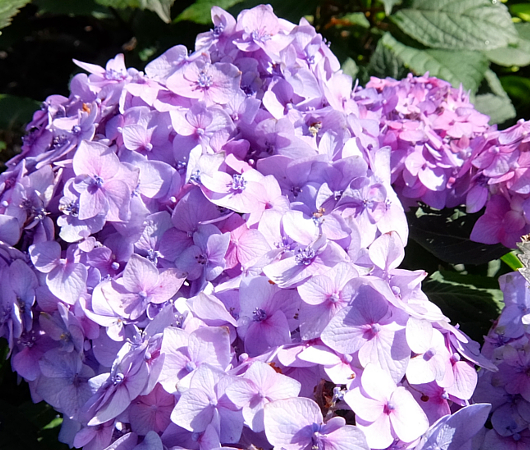 ニューヨークの中心で噴水と紫陽花と_b0007805_7423613.jpg