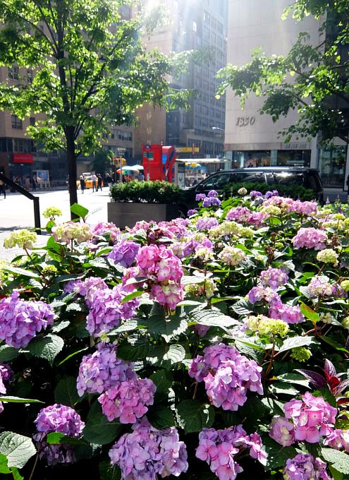 ニューヨークの中心で噴水と紫陽花と_b0007805_7434270.jpg