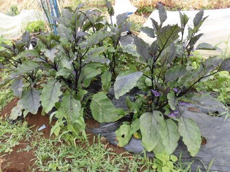 夏野菜の苗..在庫処分?_b0137932_19515705.jpg