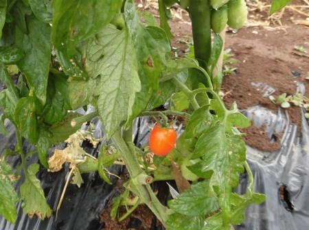 夏野菜の苗..在庫処分?_b0137932_20001409.jpg