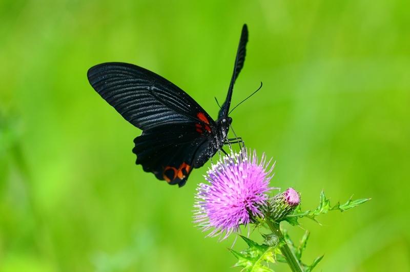 アザミに集う蝶 ナガサキアゲハのオスとシロバナノアザミ Byヒナ _c0343075_22035025.jpg