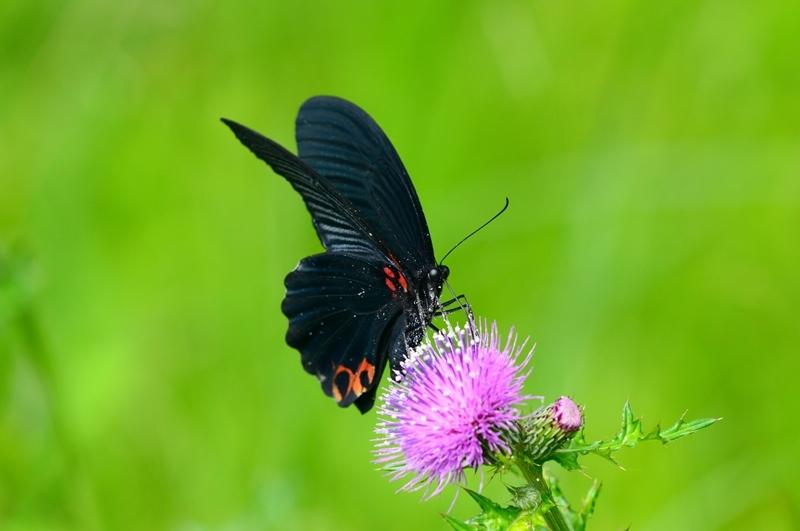 アザミに集う蝶 ナガサキアゲハのオスとシロバナノアザミ Byヒナ _c0343075_22041958.jpg