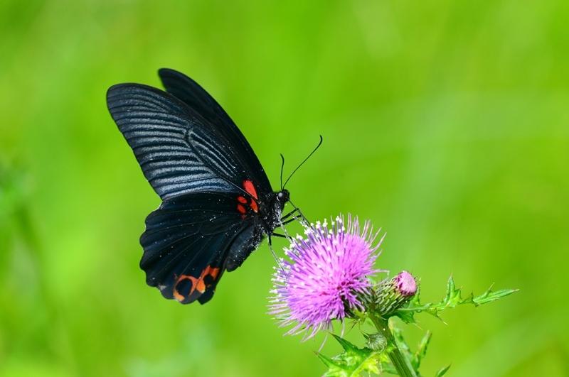 アザミに集う蝶 ナガサキアゲハのオスとシロバナノアザミ Byヒナ _c0343075_22044917.jpg
