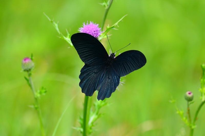 アザミに集う蝶 ナガサキアゲハのオスとシロバナノアザミ Byヒナ _c0343075_22052056.jpg