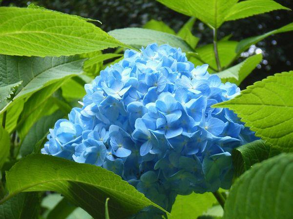 6月の紫陽花工房_c0141013_23123975.jpg