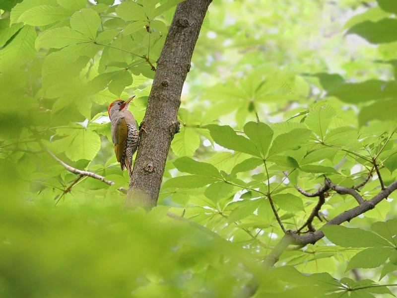 新緑の森のアオゲラとお山のアカゲラ_a0204089_6172354.jpg