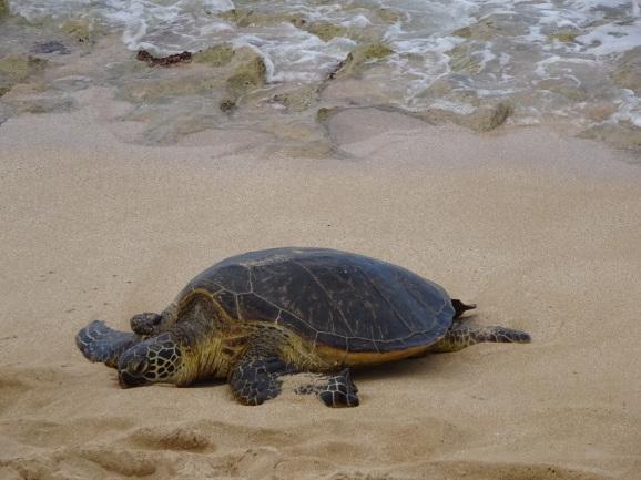 ハワイ2017 その6 ラニアケアビーチでホヌとHONOLULU COFFEEでお茶_e0230011_17055278.jpg