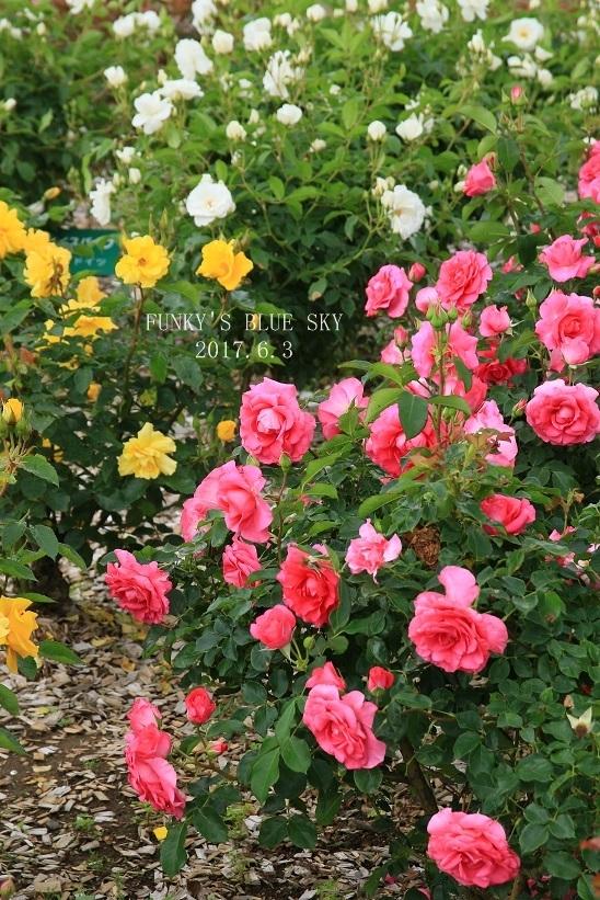 「バラ祭り」やってました♪_c0145250_09254832.jpg