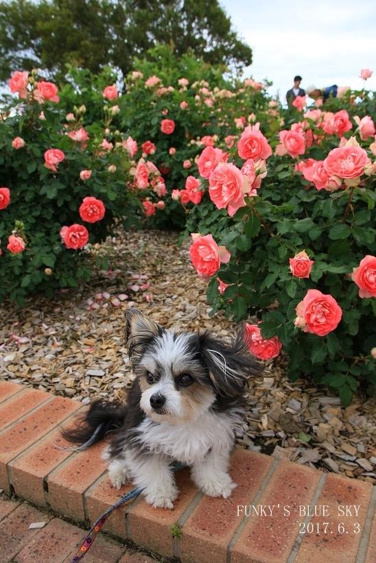 「バラ祭り」やってました♪_c0145250_09255277.jpg