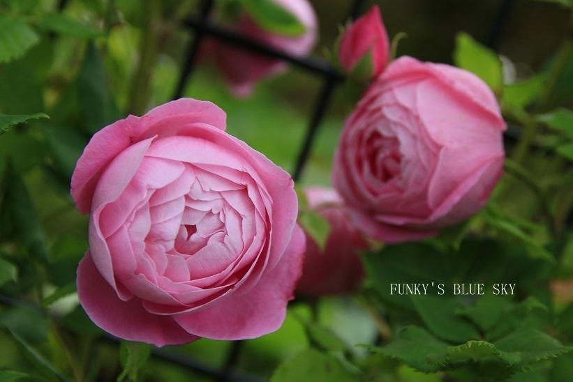 「バラ祭り」やってました♪_c0145250_09265688.jpg