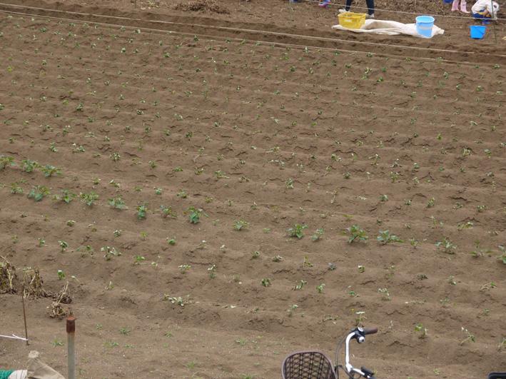 六国見山で幼稚園児が楽しそうにジャガイモ掘り(6・7)_c0014967_2461990.jpg