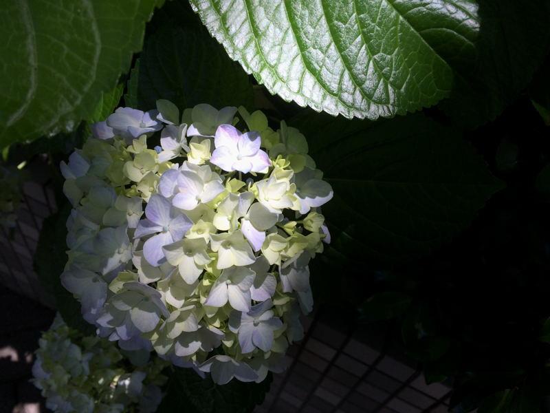 紫陽花_e0053660_844138.jpg