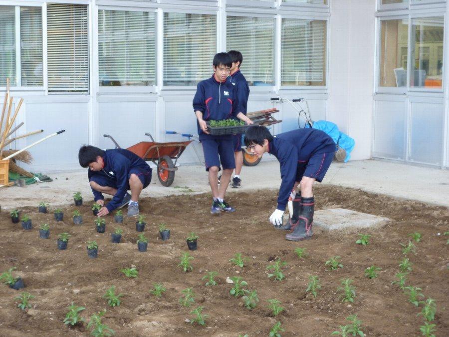 学校花壇、学校農園の植栽、そして、たぬきのちょうちん像いらっしゃい_e0359282_21114350.jpg