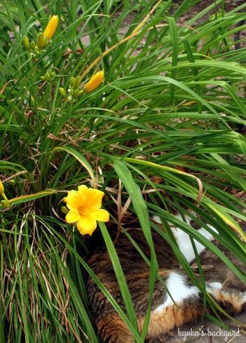 裏庭の花壇の様子(6月上旬)。マスタードシードの収穫。_b0253205_03371448.jpg