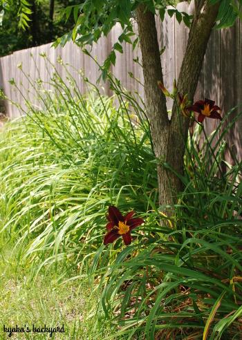 裏庭の花壇の様子(6月上旬)。マスタードシードの収穫。_b0253205_03380018.jpg