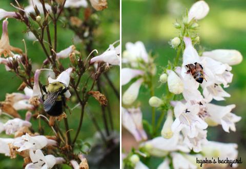 裏庭の花壇の様子(6月上旬)。マスタードシードの収穫。_b0253205_03400904.jpg