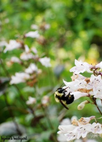 裏庭の花壇の様子(6月上旬)。マスタードシードの収穫。_b0253205_04205053.jpg