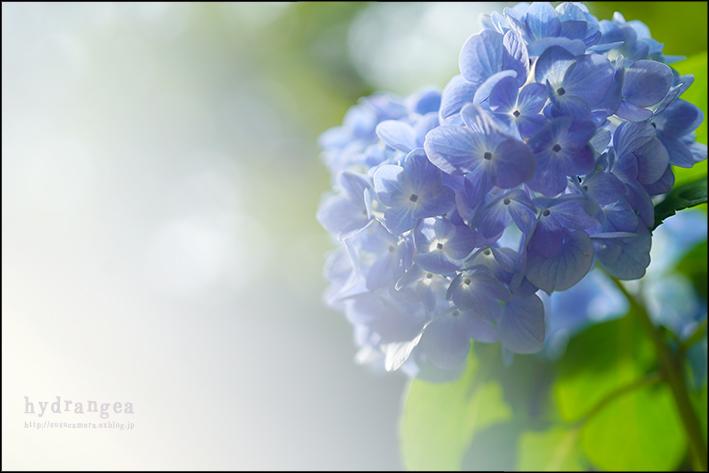 梅雨の晴れ間と紫陽花と_f0100215_01462626.jpg