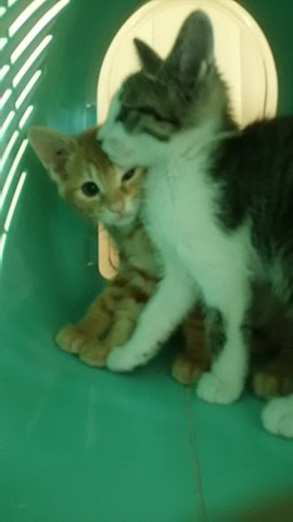 【移動先募集】センター(支所)収容の子猫・成猫(6/10訪問)_f0242002_22492672.jpg