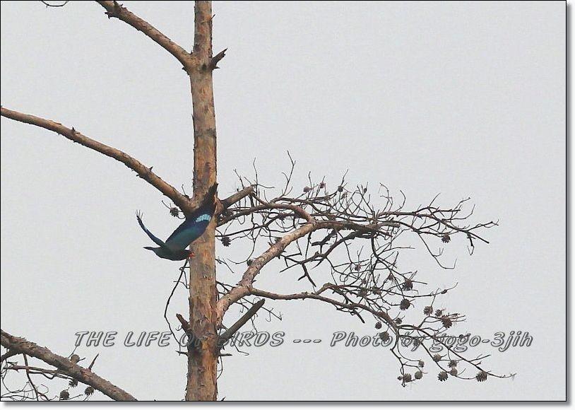 当地のブッポウソウは、渡り途中の羽根休めのよう_b0346933_05084641.jpg