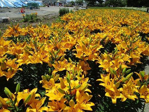 ゆりの里公園(福井県)_c0327752_10132814.jpg