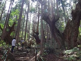 蕪山の株杉とコシアブラ大木_e0064783_05150926.jpg