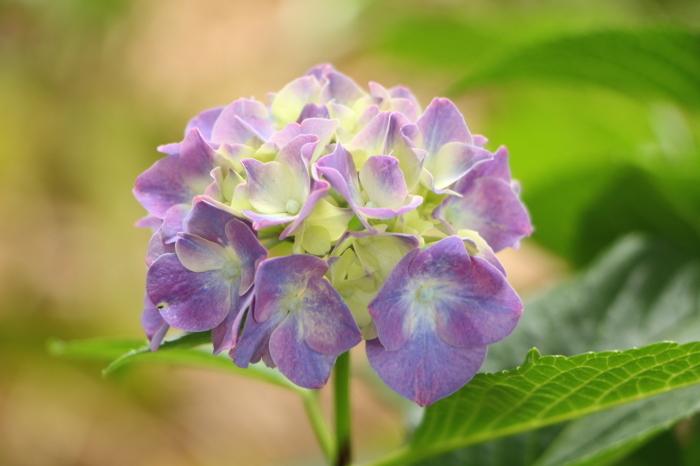 梅雨の曇り空が似合う 紫陽花 (1) _d0150720_18004273.jpg